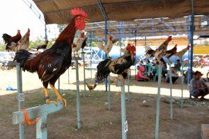 Tips memilih ayam aduan kuat